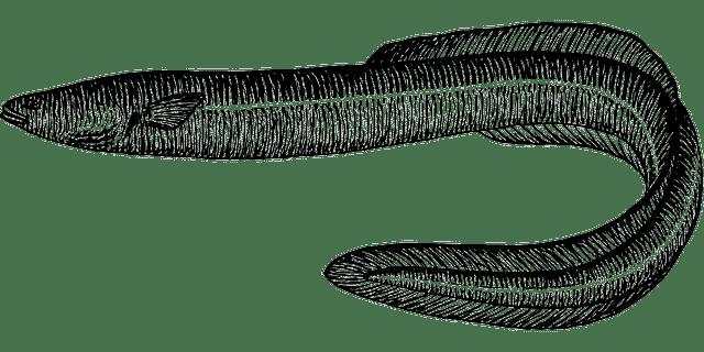 Aalangeln - Aal