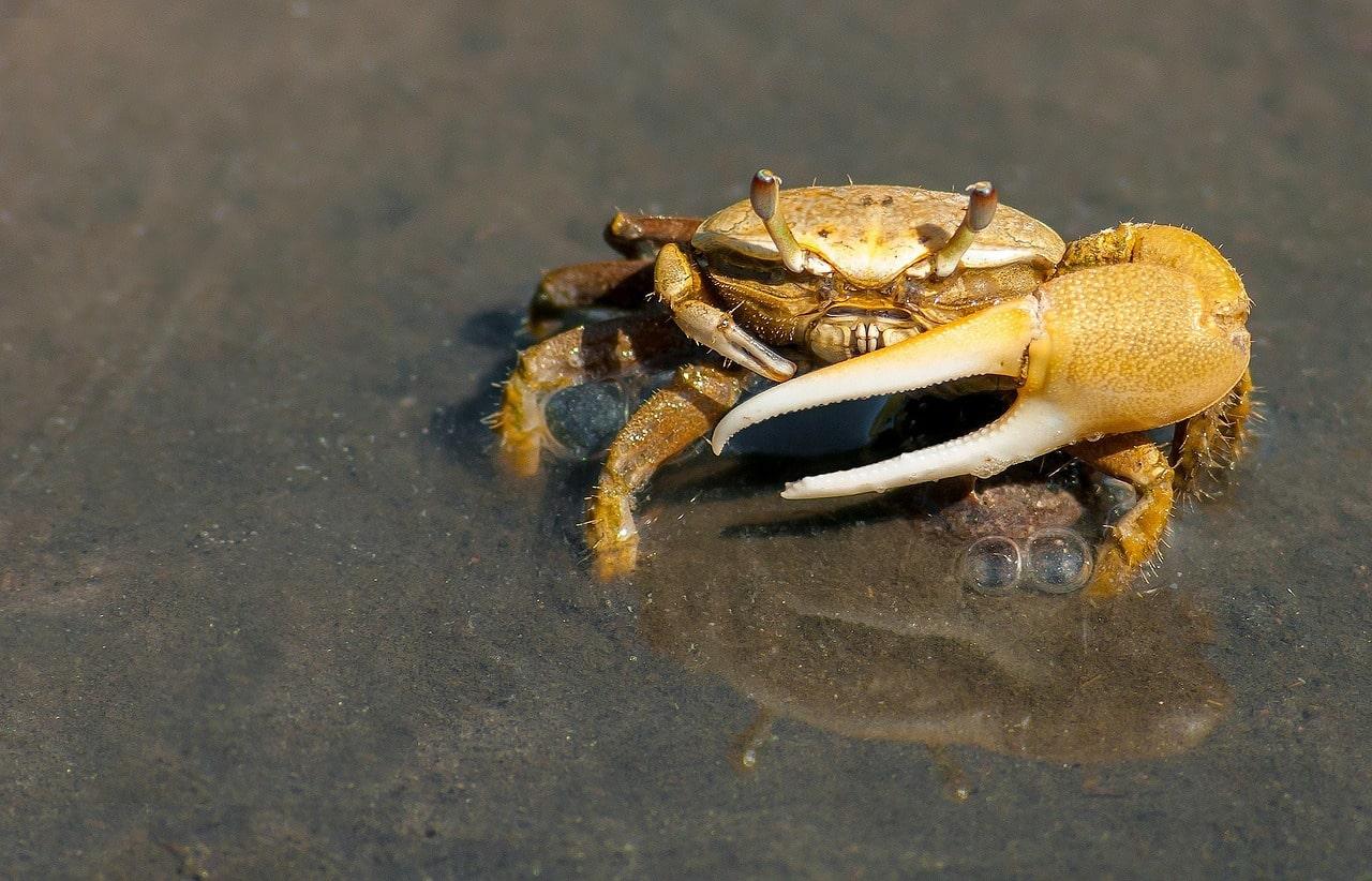 Aalköder - Krabben
