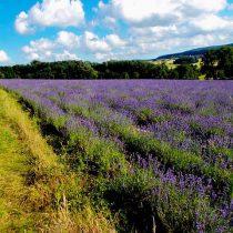 Angelschein Detmold Lippe Lavendelfeld
