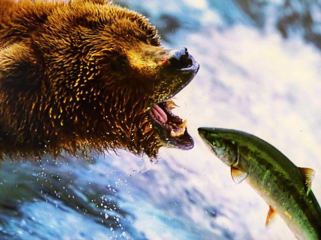 Grizzly beim Lachsangeln