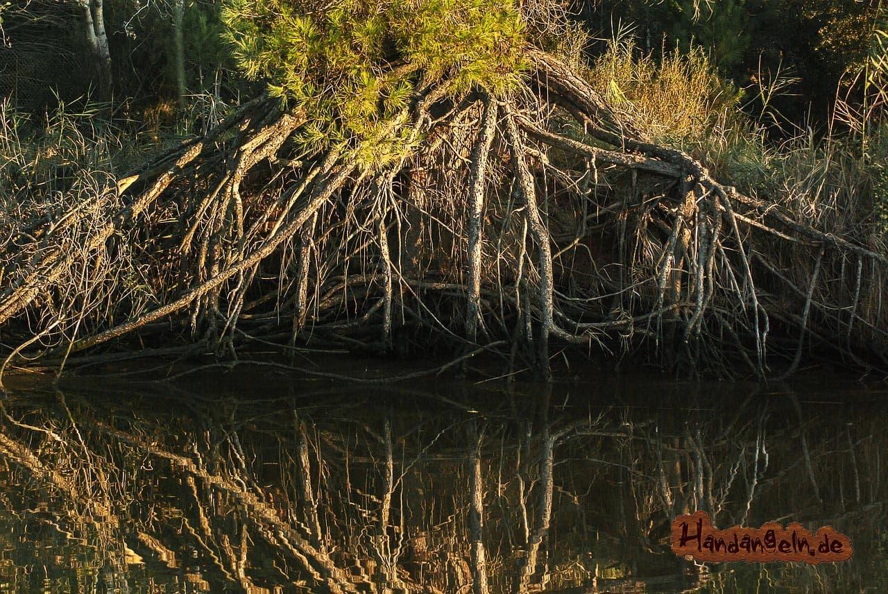 Barschangeln im Fluss Wurzelwerk