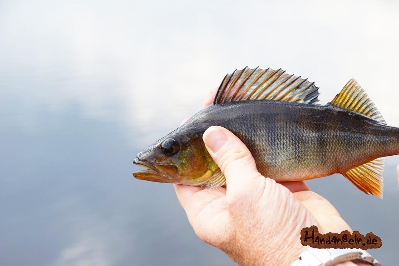Barschangeln mit Köderfisch Barsch Hand