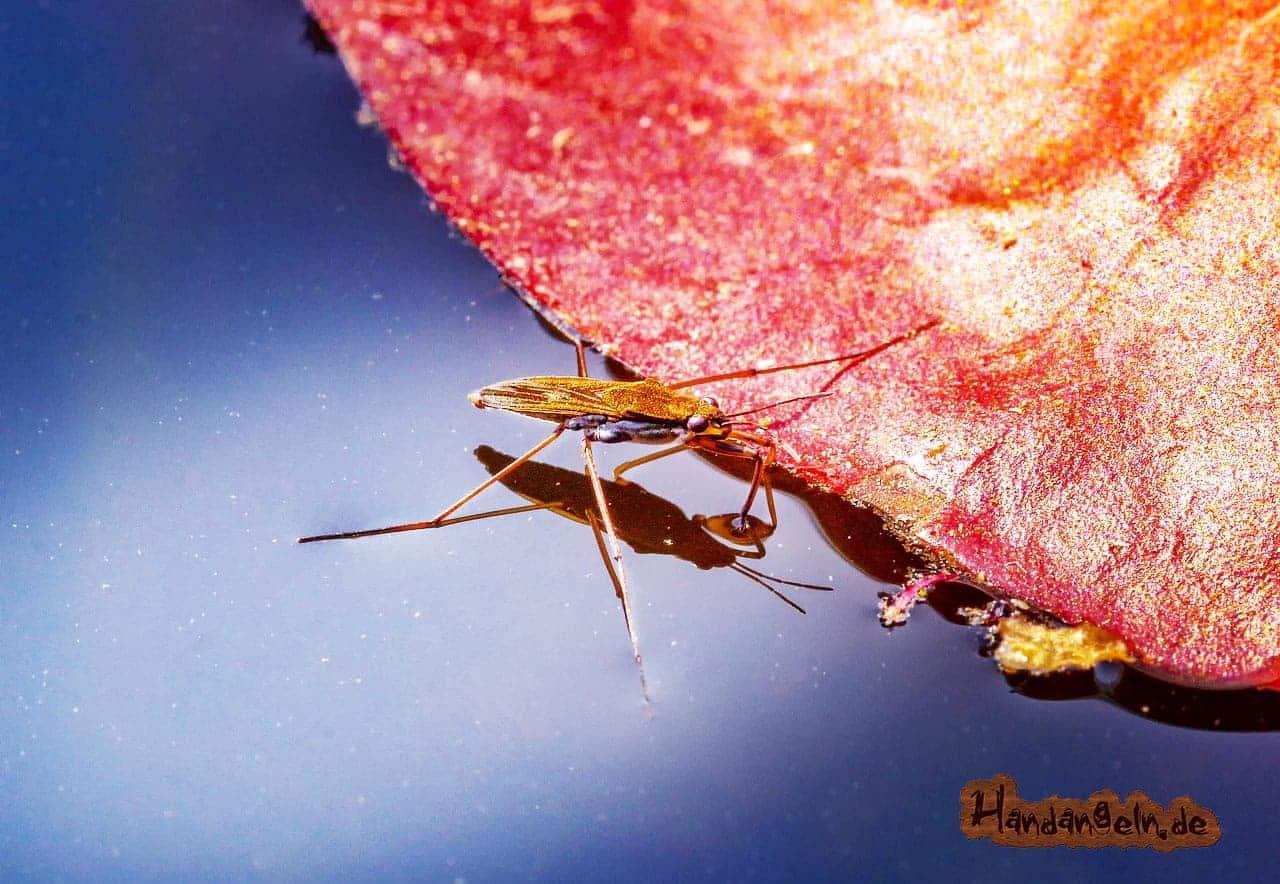 Brassen Insekten Nahrung Wasserläufer