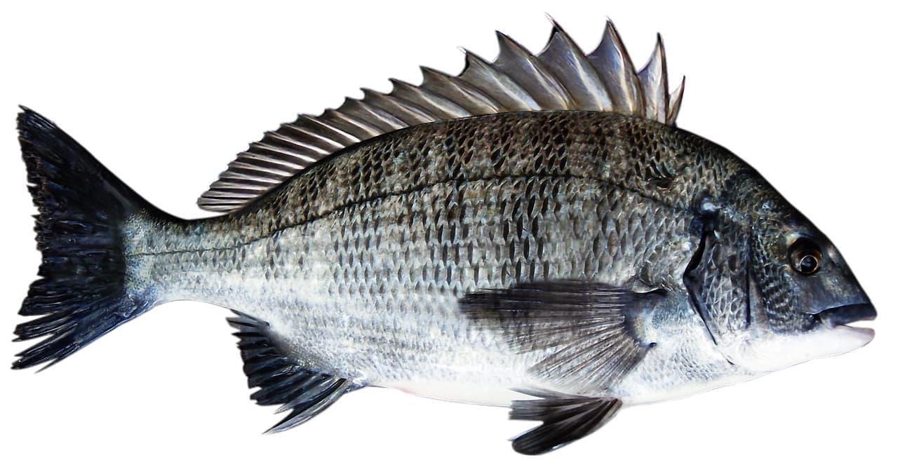 Fischbildtafel Fischerprüfung Leverkusen Goldbrasse