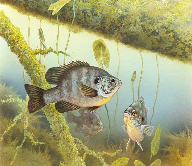 Fischerprüfung Detmold Fischbild Sonnenbarsch