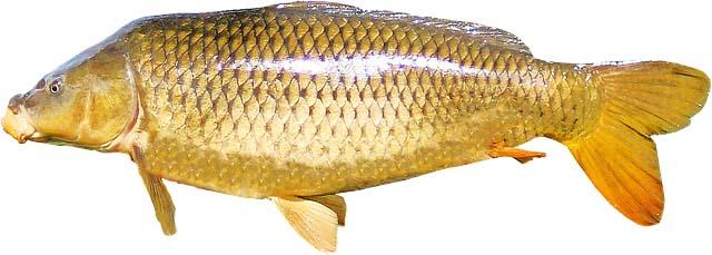 Fischerprüfung Dormagen Karpfen Fischbild