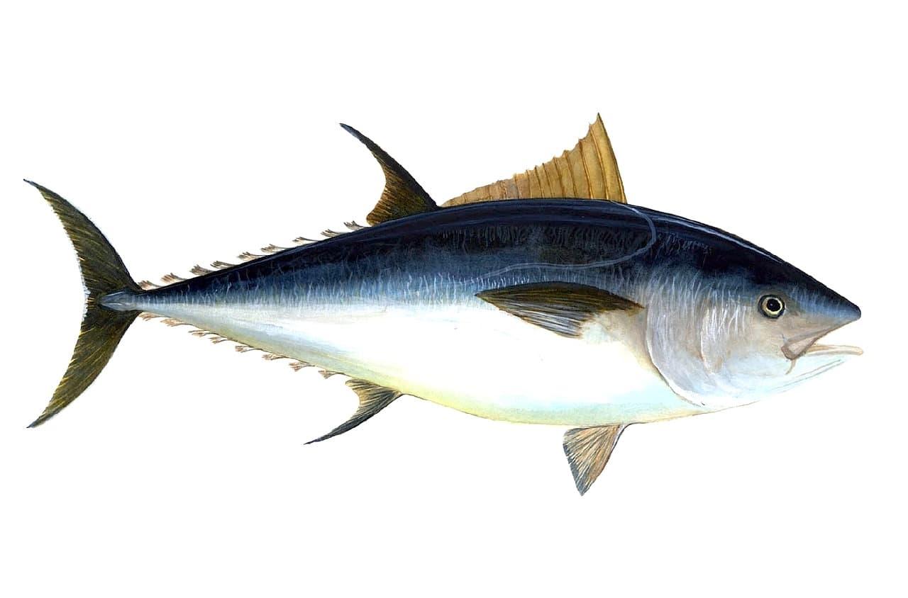 Fischerprüfung Duisburg Bildtafel Thunfisch