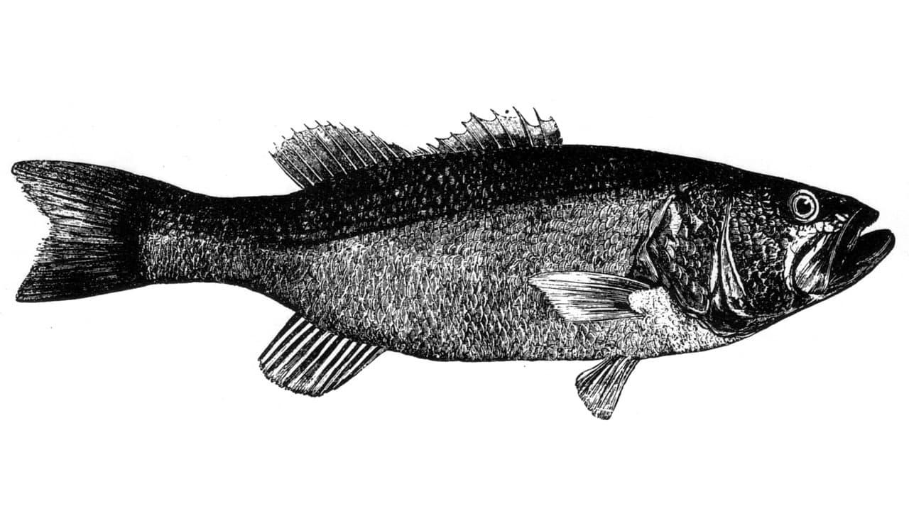 Fischerprüfung Niedersachsen Barsch Fischbilder