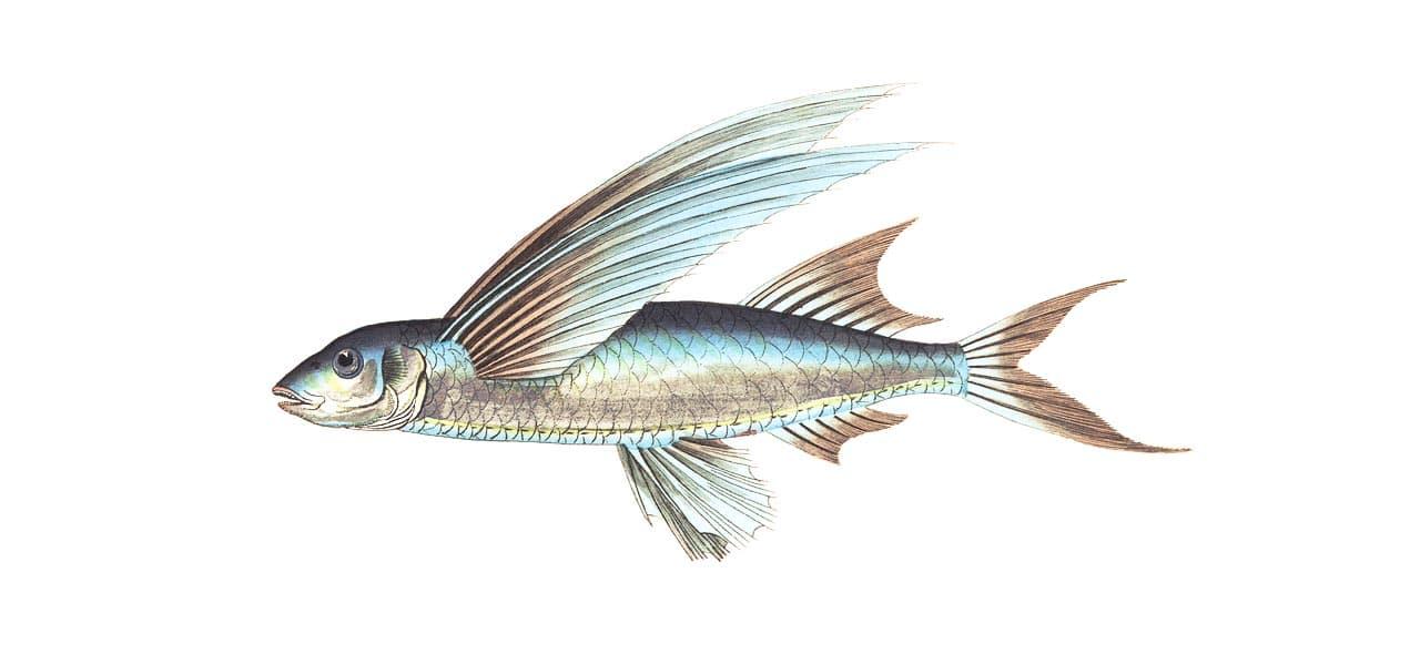Fischerprüfung Paderborn Angelschein Theorie Fischbilder Fliegende Fische Exocoetidae