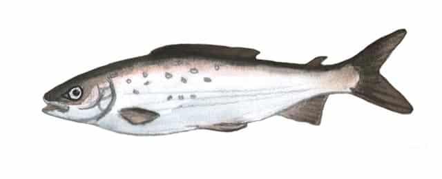 Fischerprüfung Wesel Fischbildtafel Äsche