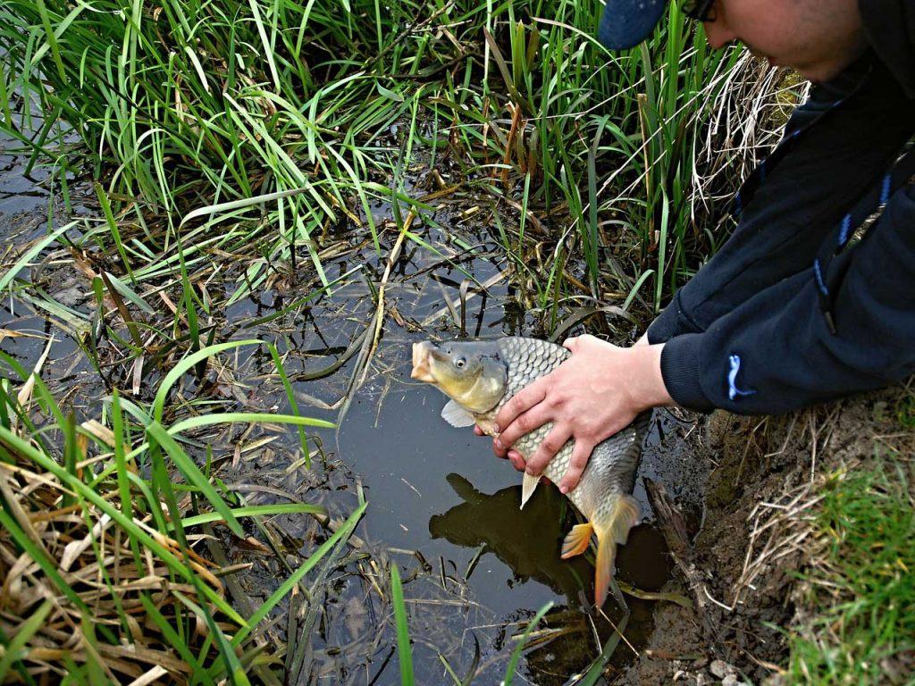 Die meisten Angler setzen ihre gefangenen Karpfen wieder zurück in das Gewässer