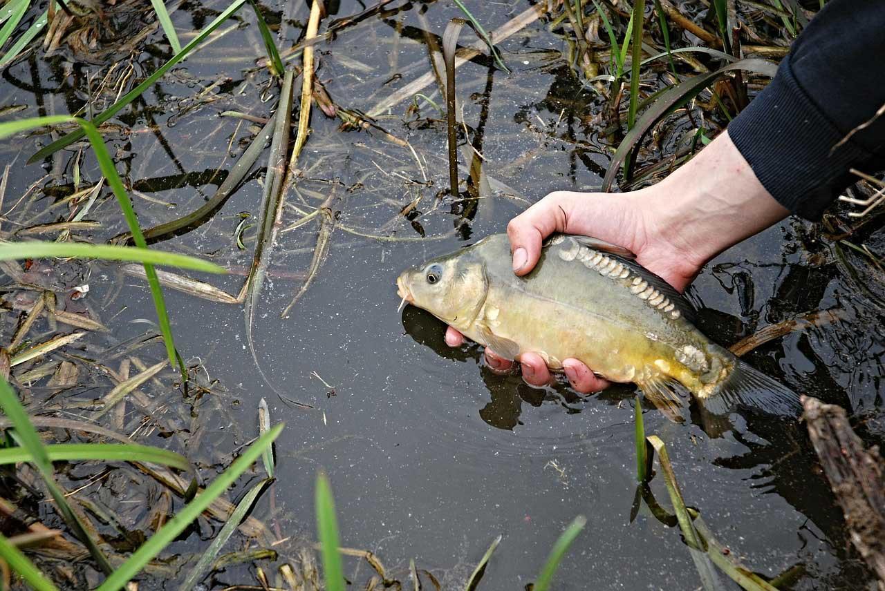 Durch das Zurücksetzen können sich auch andere Karpfenangler an dem Fisch erfreuen