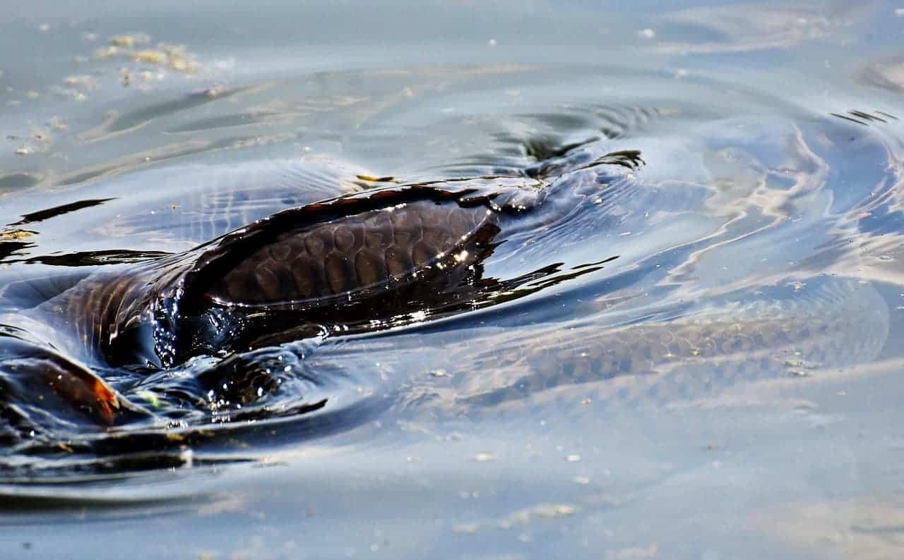 Karpfenangeln - Gewässer - rollende Karpfen an der Oberfläche