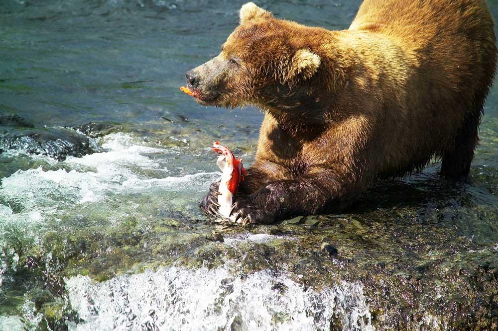 Königslachse müssen sich vor dem Braunbären in Acht nehmen