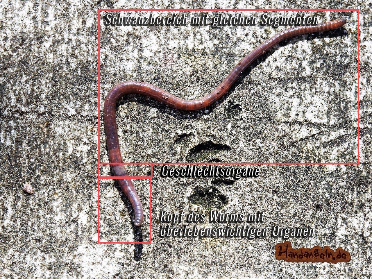 Körperaufbau Aal Köder Wurm Tauwurm