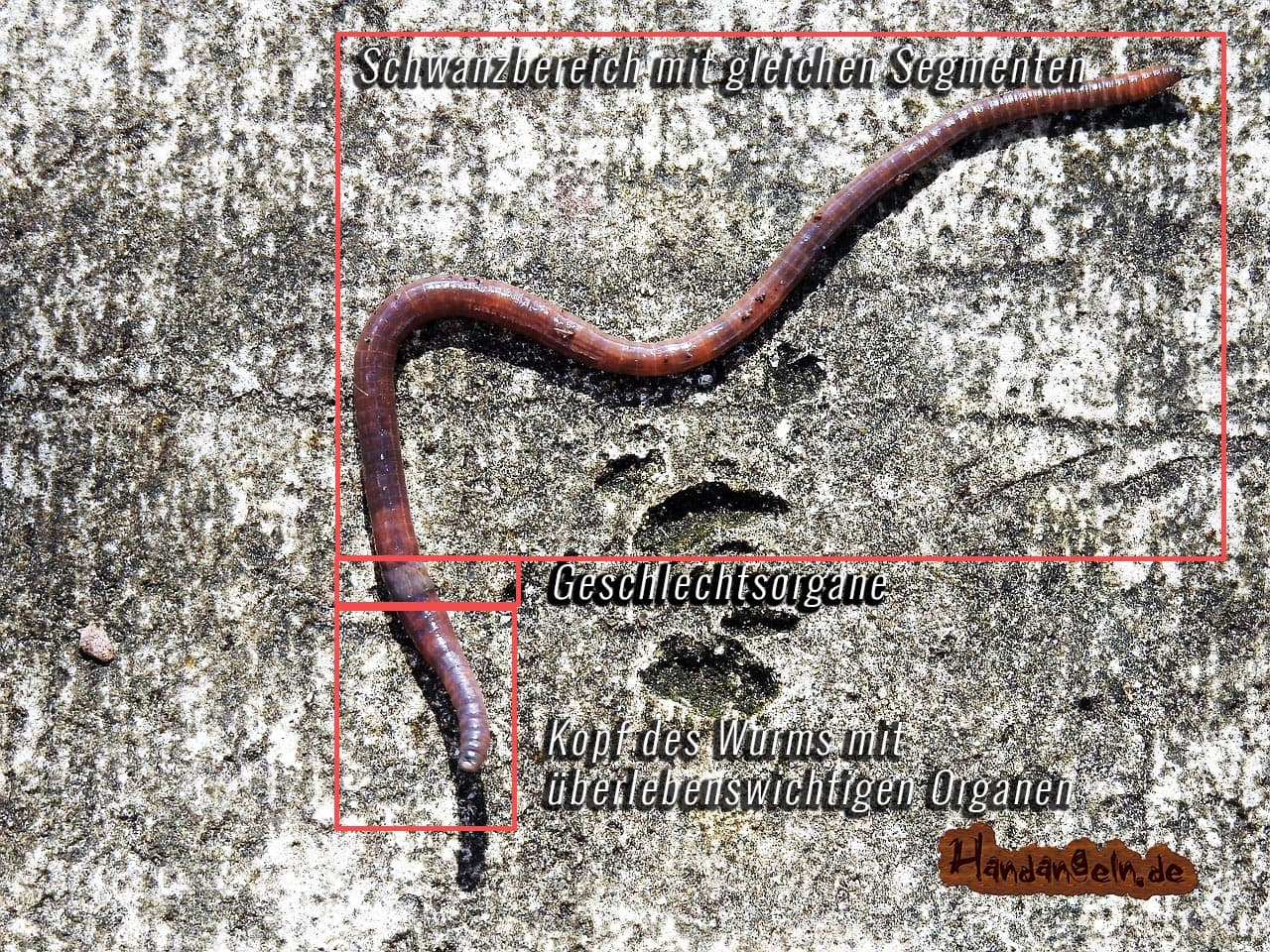 Koerperaufbau Forellenköder Wurm Tauwurm