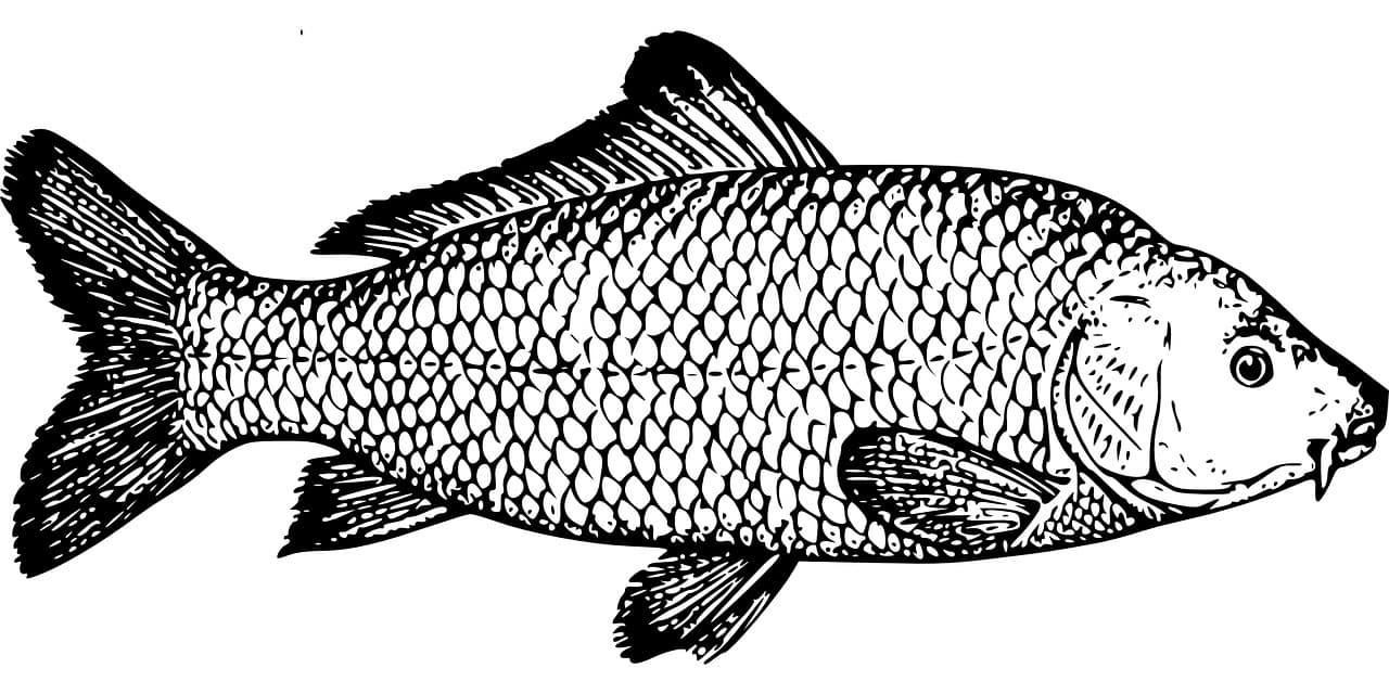 Neuss Fischbildtafel Karpfen
