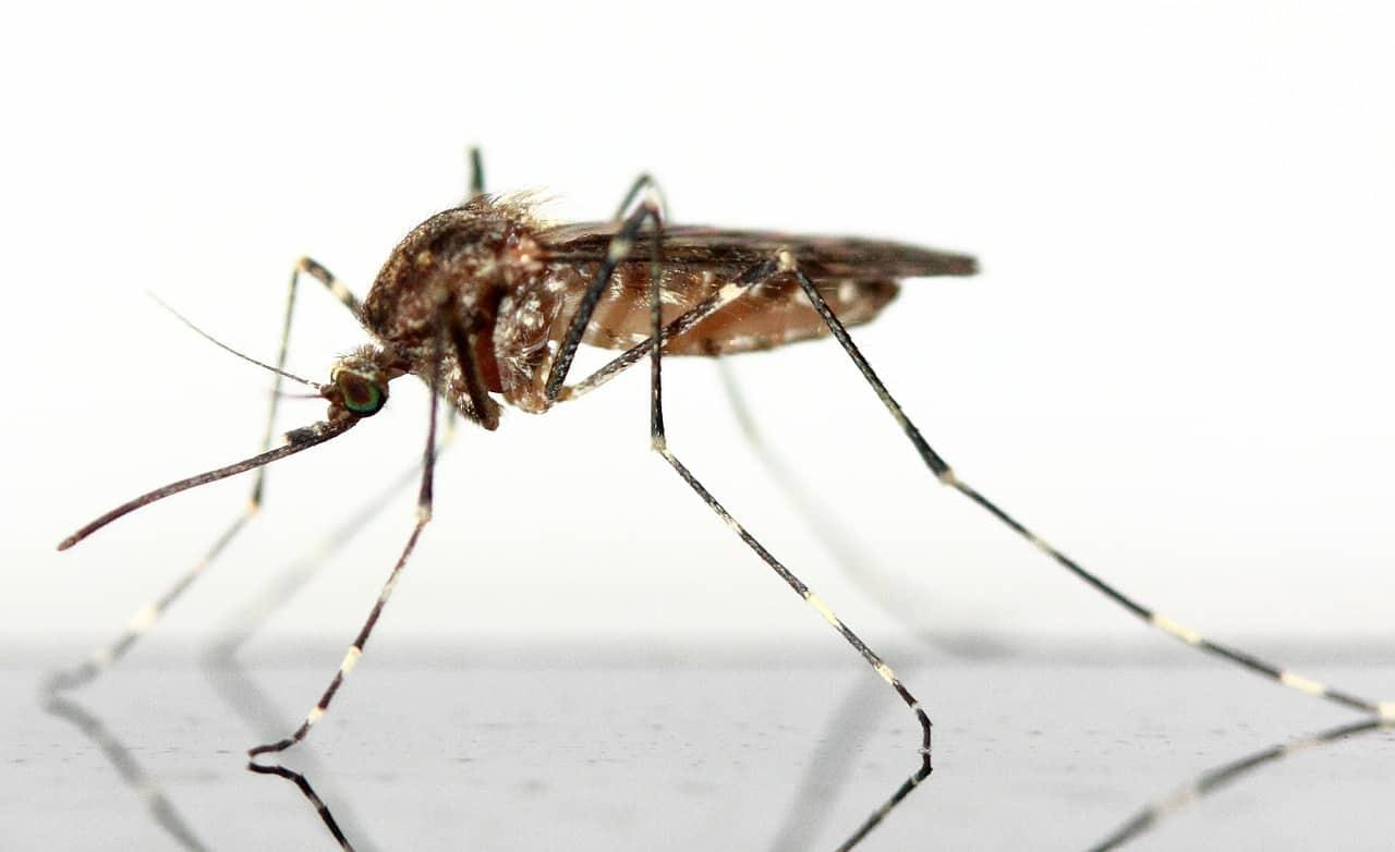 Schleienangeln - Köder Mückenlarven