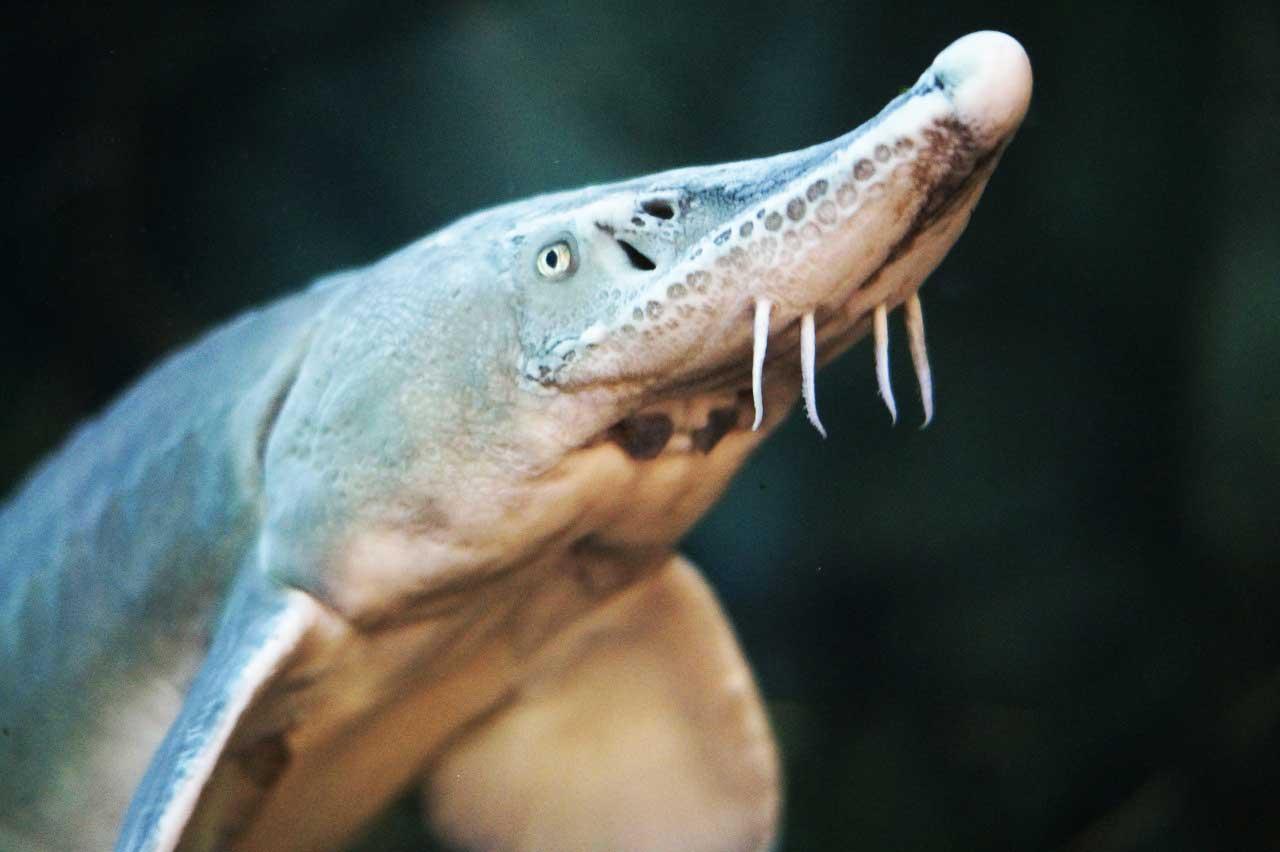 Stoer im Aquarium
