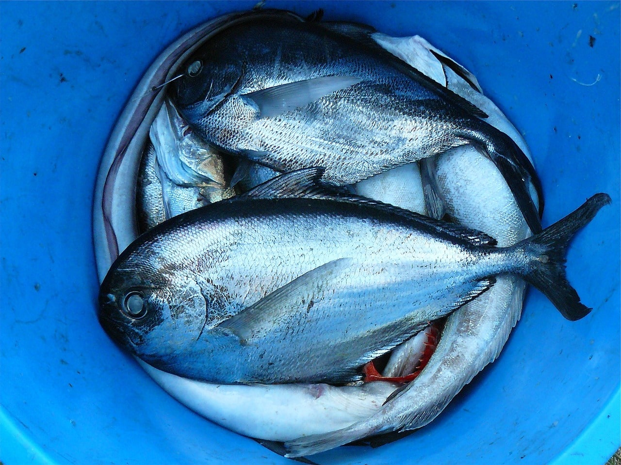 Zanderköder - Köderfische